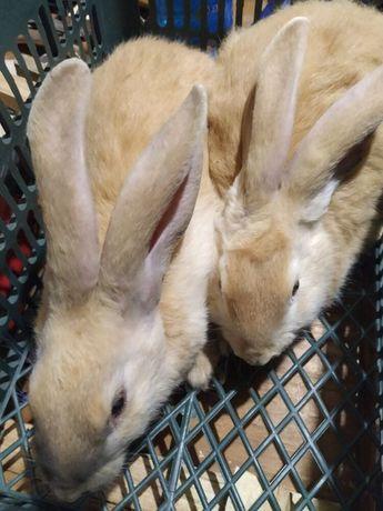 Продам крупных кроликов