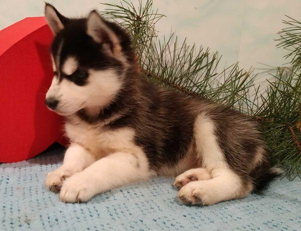 Красуны щеночки Сибирской Хаски
