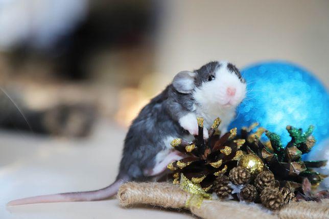 Красивый маленький крысеныш Панда
