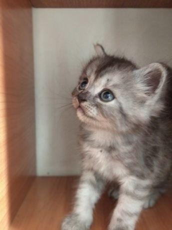 Котята фолд и страйт(договорная цена)