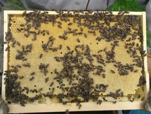 Акція! Плідна Пчелиная матка пчелиная матка Карпатка