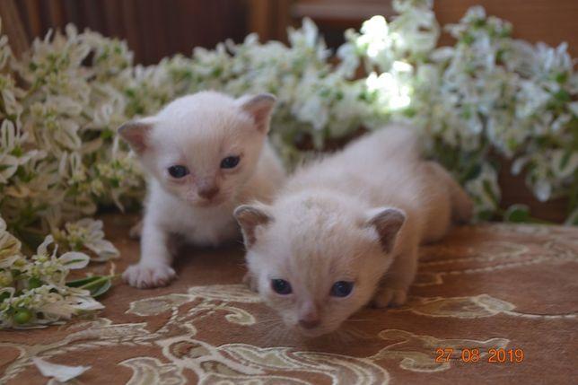 Тонкинские котята. Чистокровные элитные котята тонкинезы