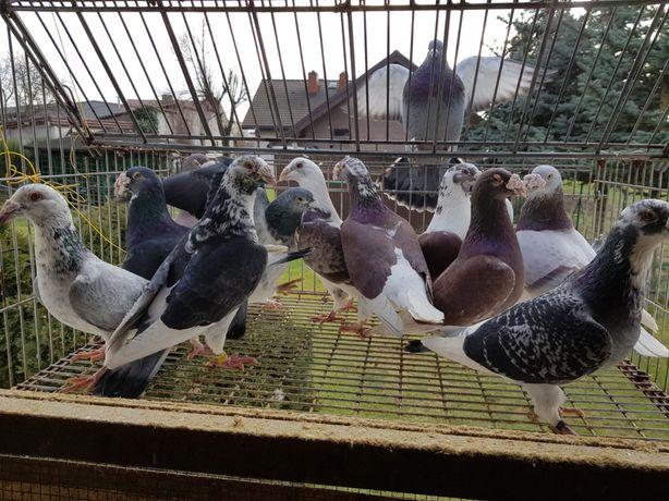 Gołębie Staropolskie - wymiana