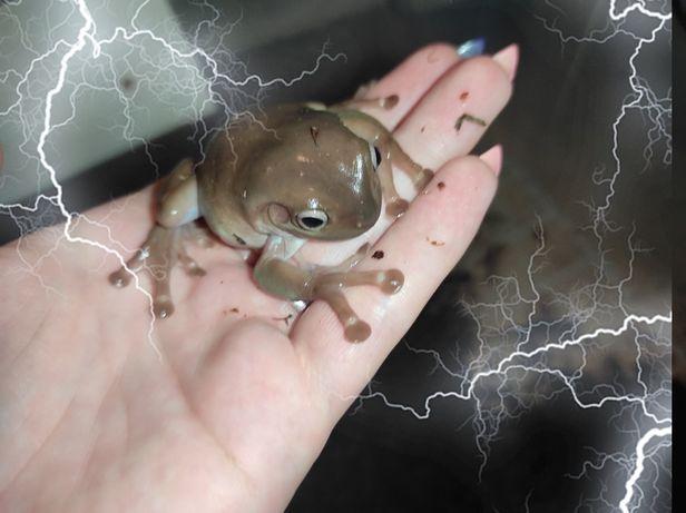 Квакша Литория. Интересная, миловидная лягушка. Жабки с питомника.