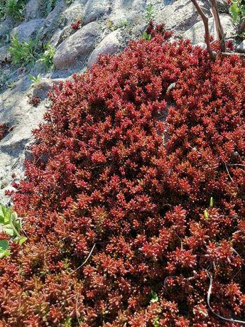 Rozchodnik biały - roślina na skalniak