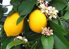 Саджанці Лимона Новогрузинський