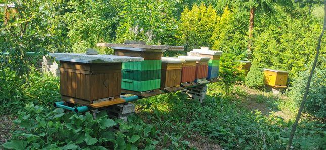 Rodziny pszczele - pszczoły do sprzedania, zakarmione i przeleczone