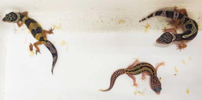 Gekon lamparci - terrarium z ogrzewaniem