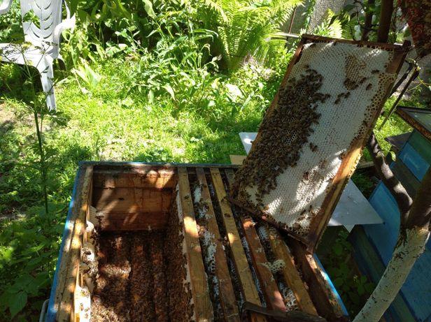 Продам семью пчел