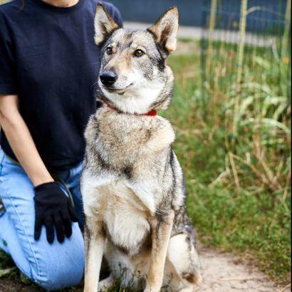 Айна  метис лайки ищет хозяина щенок щенки щенята пес щеночки собака