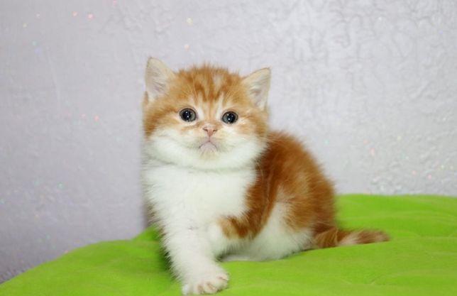 Симпатичный шотландский котик