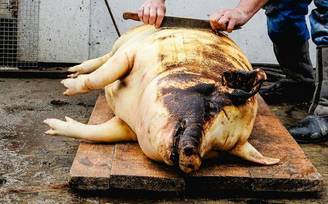 Забій свиней.телят.