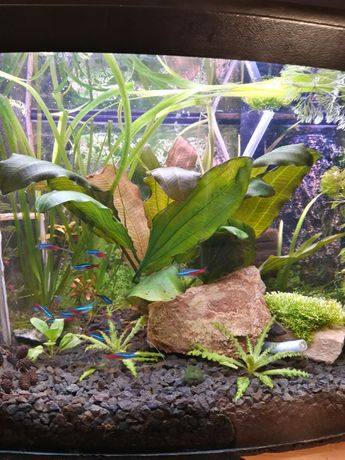 Echinodorus Izabela*duża roślina akwariowa* 30 cm