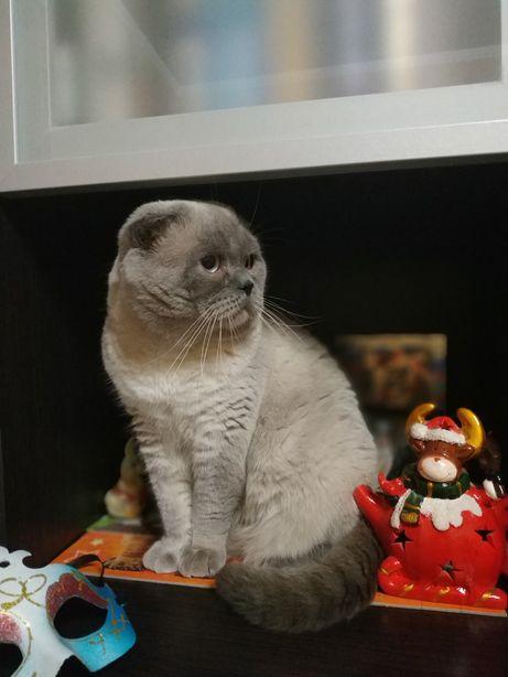 Шотландский вислоухий кот ждёт невесту