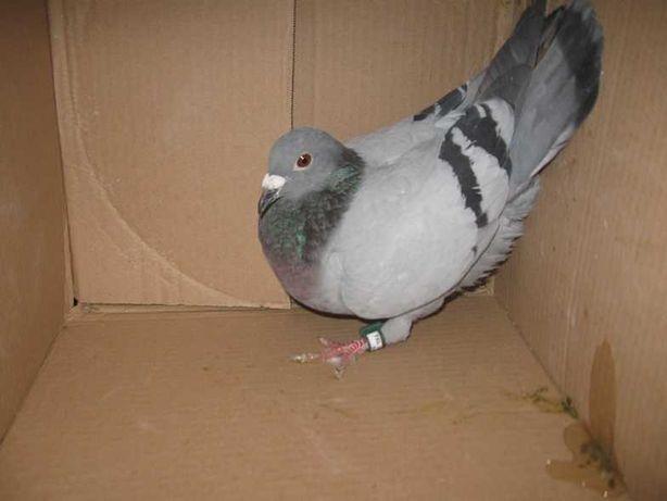 Gołębie Pocztowe Samica  BE 21 Pieczątka Tipes tel