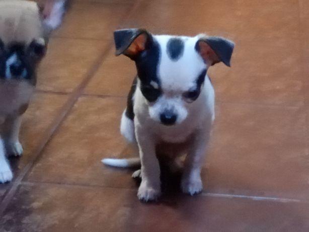 Chihuahua -mini piesek biało-czarny