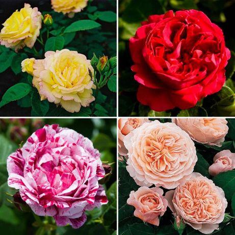 Розы саженцы в пленке (троянди саджанці у плівці)