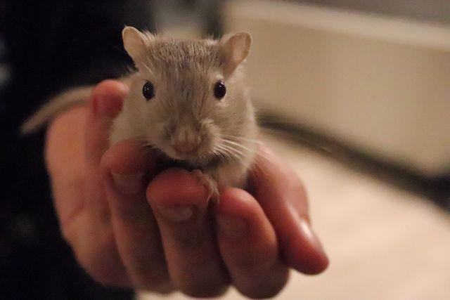 Sprzedam młode myszoskoczki