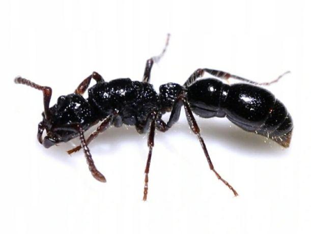 Cerapachys Sulcinodis Q+2W i potomstwo  mrówki kolonia  do formikarium