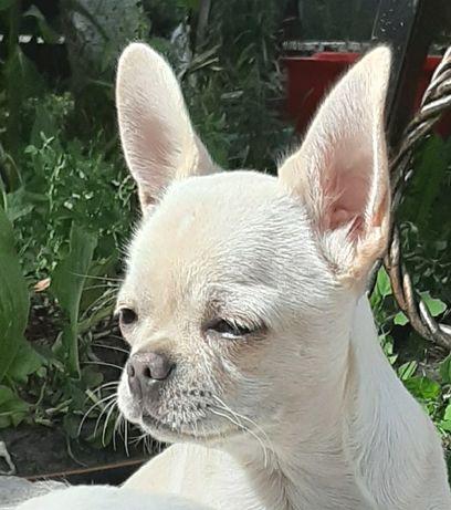 Белокремовый мальчик чихуахуа.