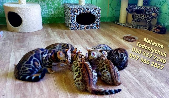 Кошенята бенгали на ваш вибір