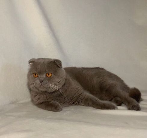 Шотландский вислоухий кот для вязки