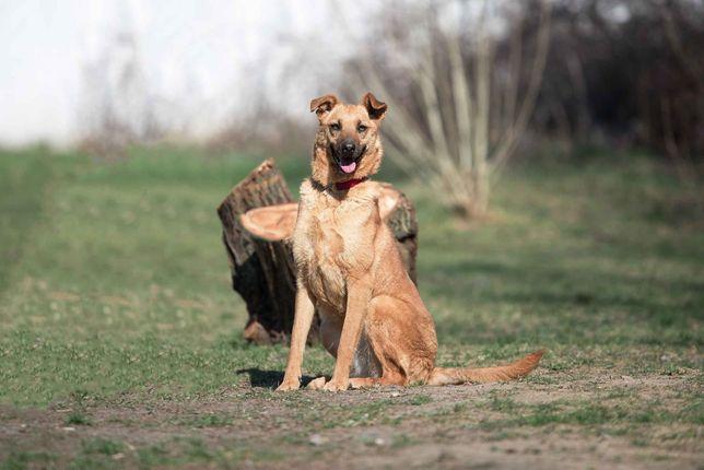 Отдам в хорошие руки молодую собаку Озму .