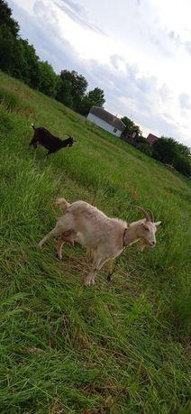 Продам не  дорого коз