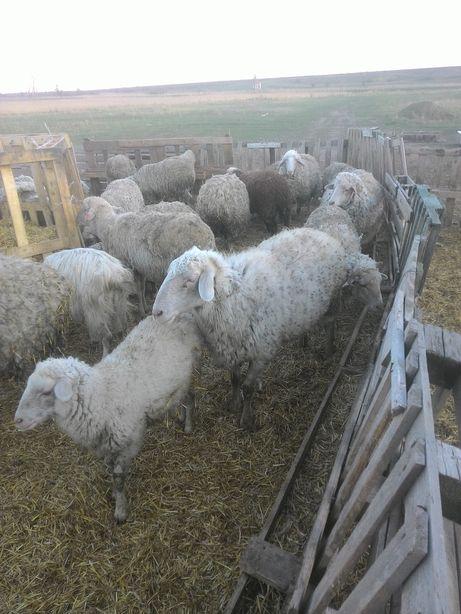 Овцы, Бараны, Баранина