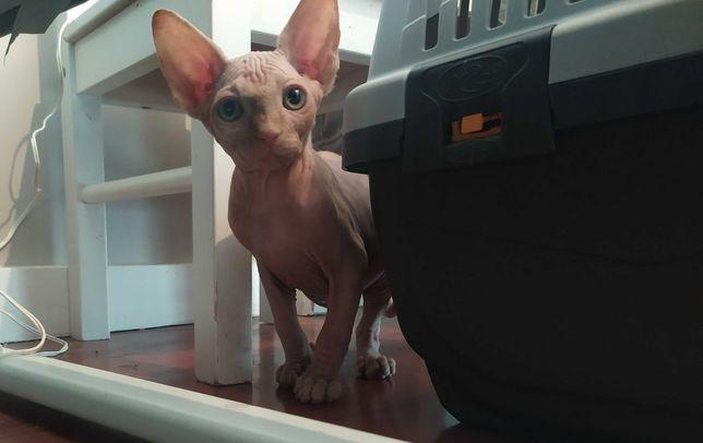 Gato Sphynx - gato sem pelo