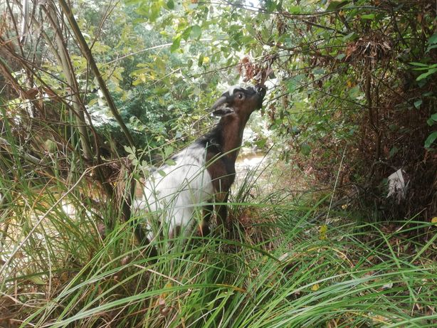 Cabra anã macho Tricolor