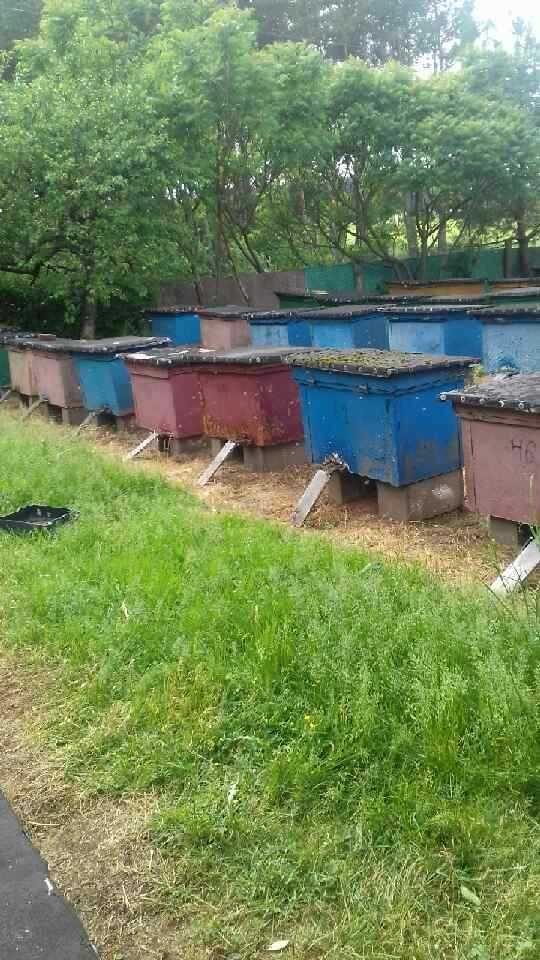 Ule warszawskie z pszczołami
