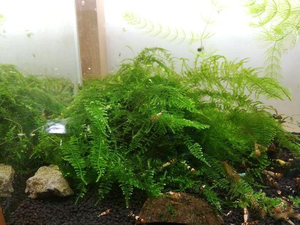 Mech Christmas moss