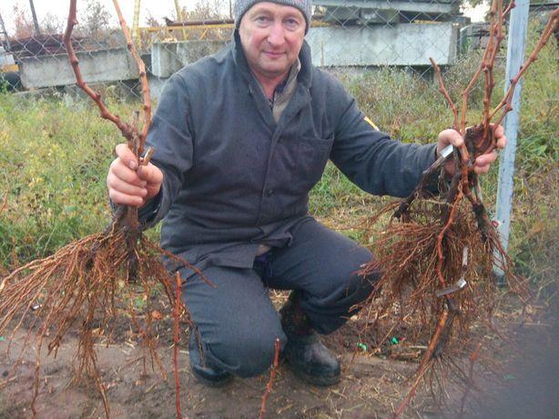 саженцы технических( винных) сортов винограда