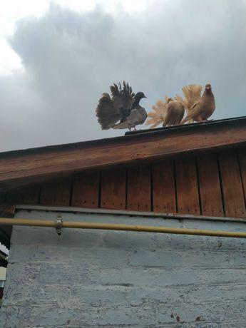 продам голуби, павлины  павичі