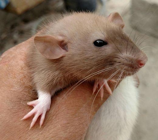 ПрекрасныеКрысята дамбо
