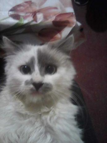 Котик дуже пухнастий