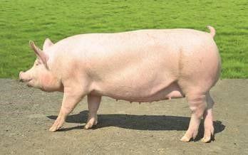 Продам свинью беконной породы