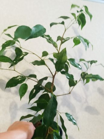 Фикус Бенджамина Долларовое дерево Замиокулькас