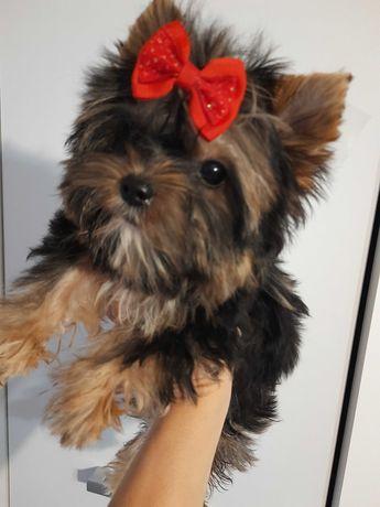 Yorkshire terrier carrier miniaturka piesek Gucci