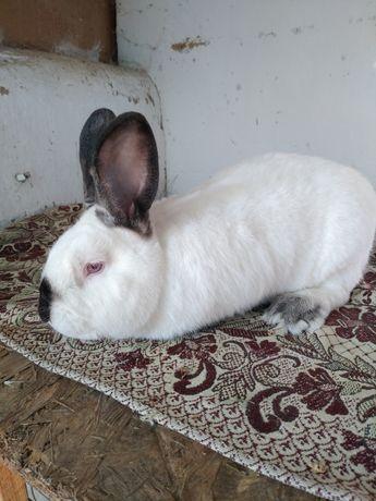 Кролик Калифорния (рабочий)