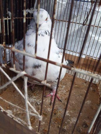 Продається голубка кінг