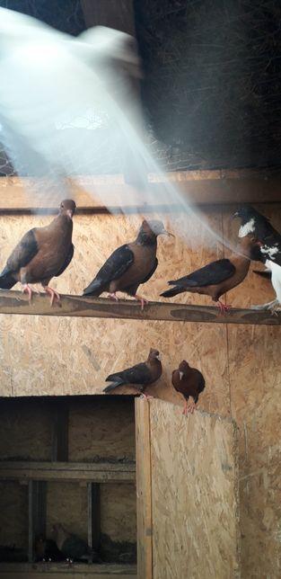 Анхаргельские голубы