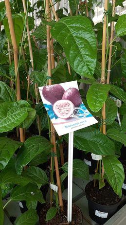 Planta maracuja roxo