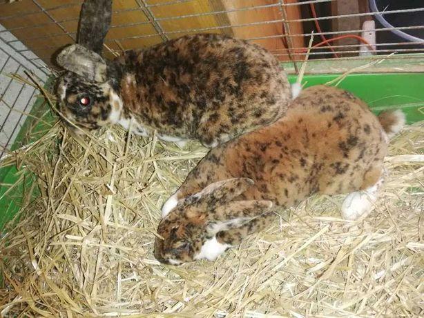 Króliki . Rex gepard - tylko dorosłe samce.