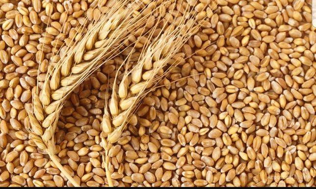 Продам пшеницю озима 1 тонна