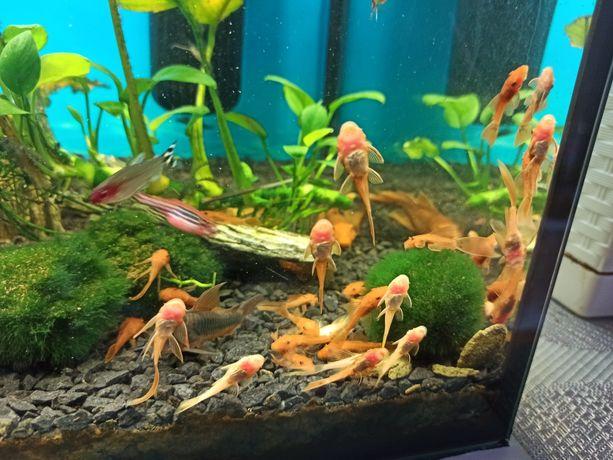 Glonojad red ryba 3-4 cm