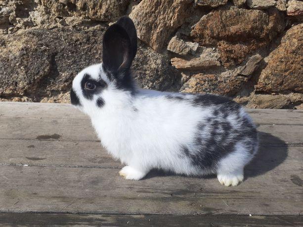 Młode  króliki..