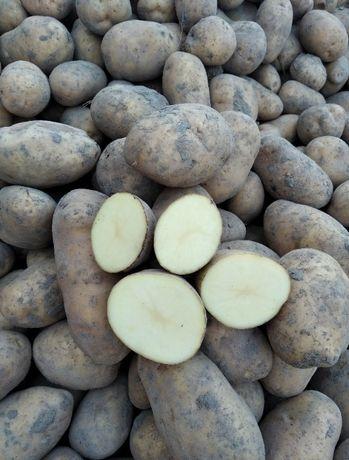 Ziemniaki Tajfun, sortowane