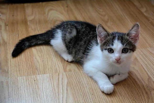 Doni - urocze biało - bure kocie dziecko